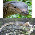 "I'm a Monitor Lizard, #1 on the Search Result for ""Exotic Reptile."" So Suck It, Komodo Dragon."
