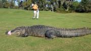 gator on a golf course